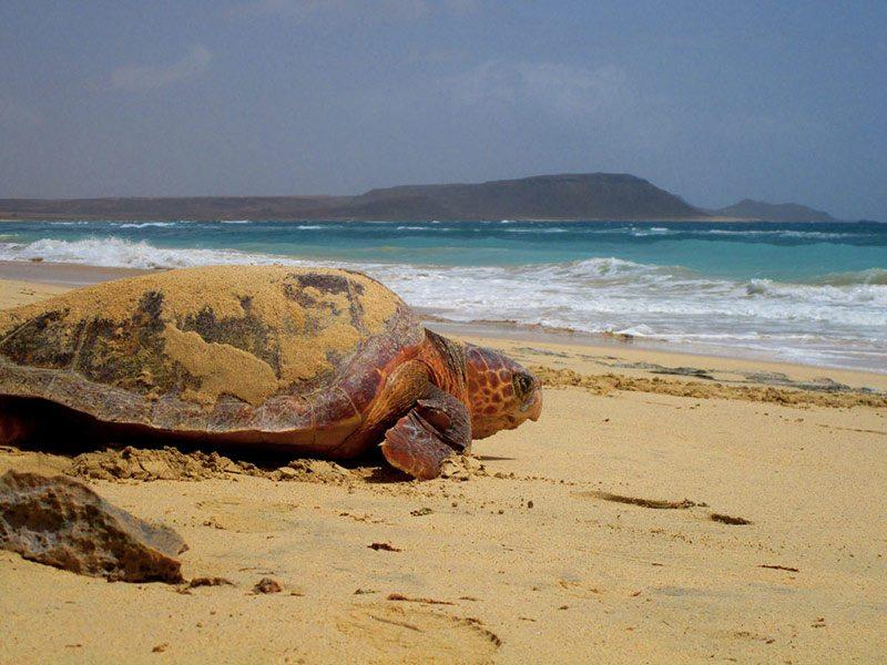 Turtle on the beach of Sal in Capo Verde